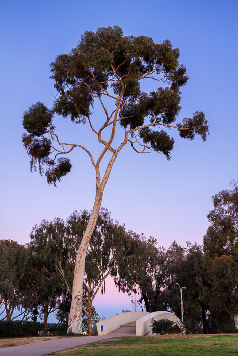 Eucalyptus Tree and Bridge in Balboa Park by Anne McKinnell