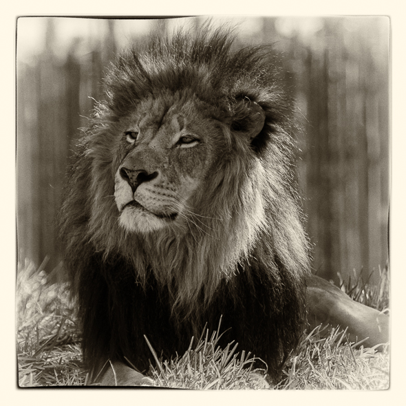 Male African Lion at the San Dieo Safari Park