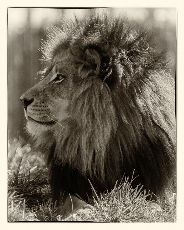 Male African Lion at the San Dieo Safari Park