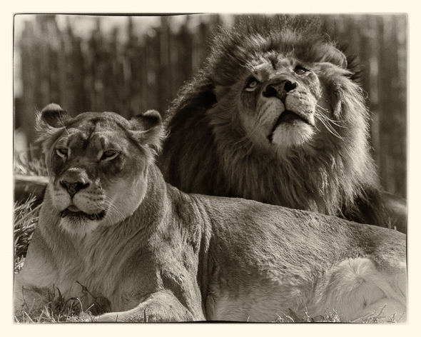 African Lion Couple at the San Dieo Safari Park