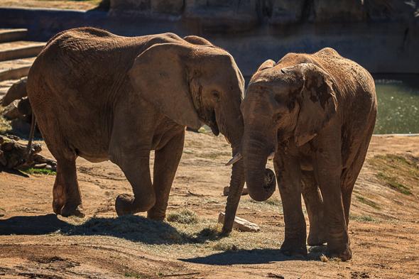 Elephant Couple at the San Diego Safari Park