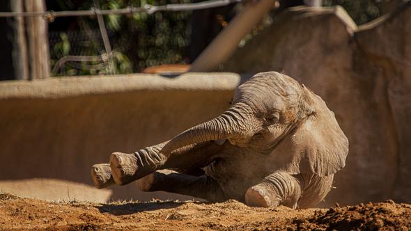 Baby Elephant at the San Diego Safari Park