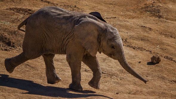 Baby Elephant at the San Diego Safari Park
