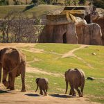 Three Elephants at the San Diego Safari Park