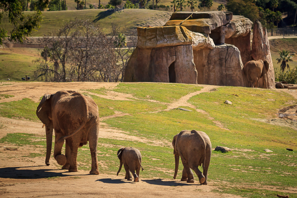 Three Elephants at the San Diego Safari Park