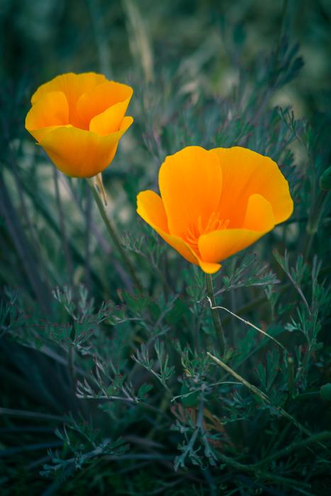 California Poppy by Anne McKinnell