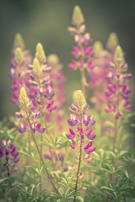 Bush Lupin by Anne McKinnell