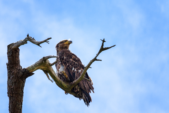 Juvenile Bald Eagle by Anne McKinnell