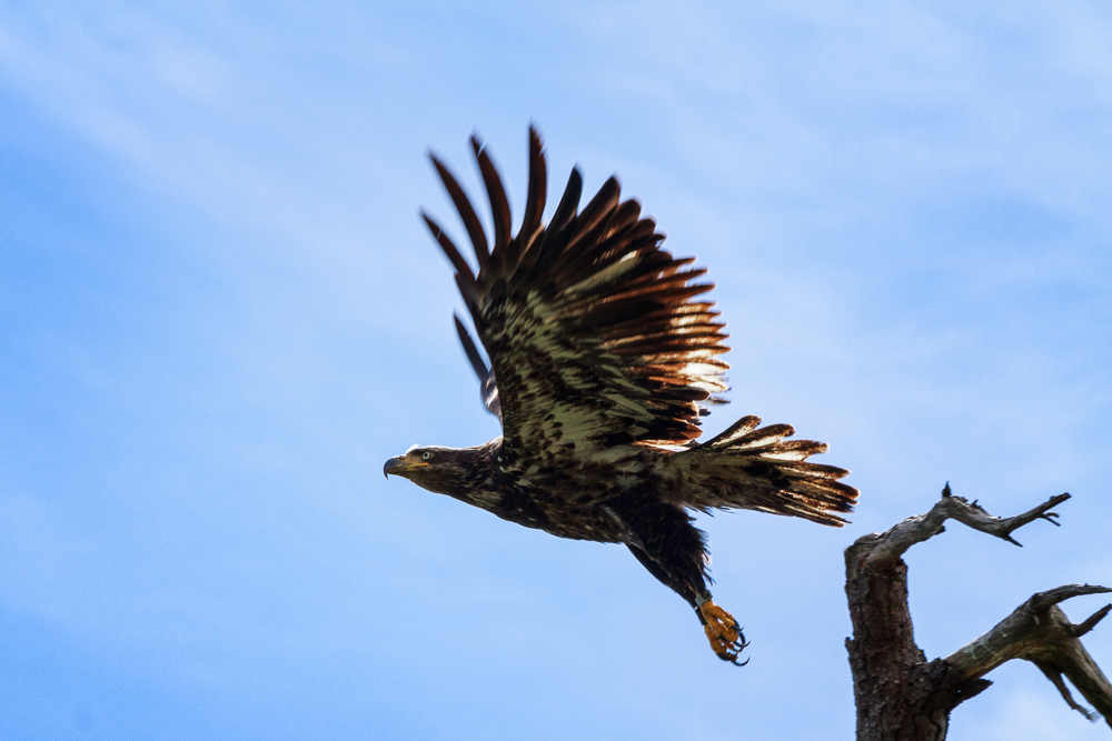 Juvenile Bald Eagle by Anne McKinnell