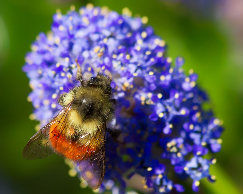 the lilac is alive with bumble bees anne mckinnell photography