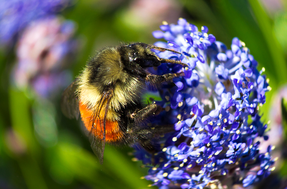 Bumble bee on california lilac by Anne McKinnell.