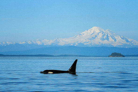 Orca and Mount Baker by Anne McKinnell