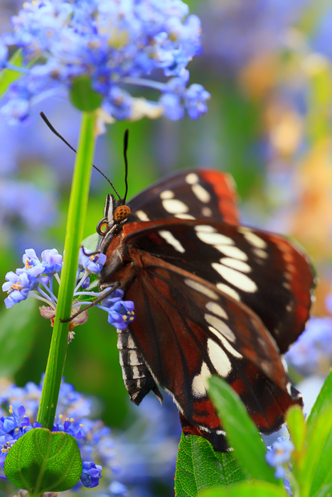 Butterfly and Lilac by Anne McKinnell