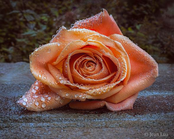 A Rose's Tears by Jean Lua
