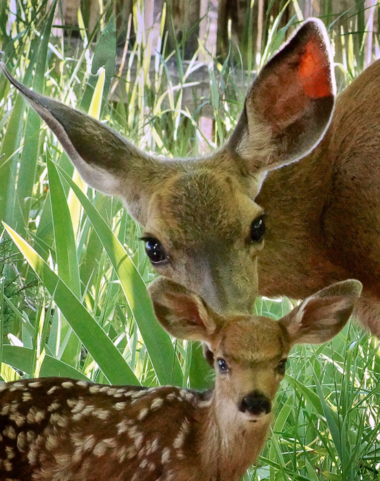 George: Doe and Fawn
