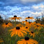 Black Eyed Susan by Anne McKinnell