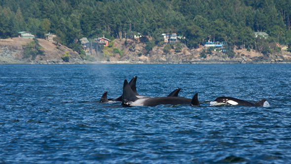 Orca Pod by Anne McKinnell