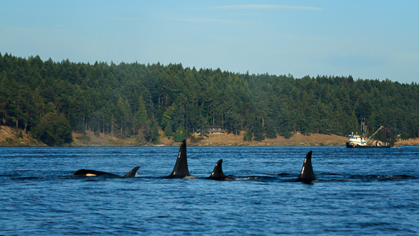 Orcas Travelling by Anne McKinnell