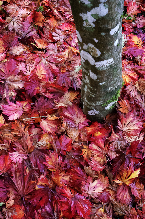 Fall leaves at Butchart Gardens in Victoria, British Columbia