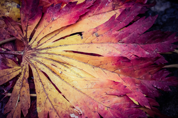 Fallen leaf at Butchart Gardens, Victoria, British Columbia