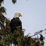 Bald Eagle in Nanaimo, BC by Anne McKinnell