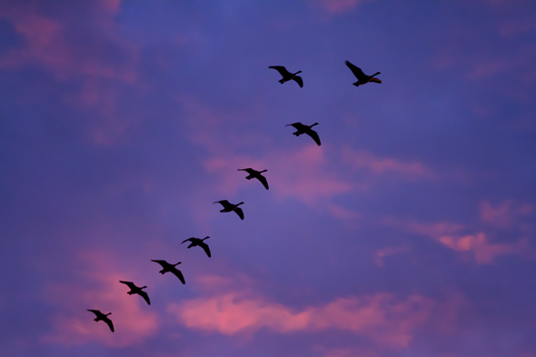 Canadian Geese at Sunset by Anne McKinnell