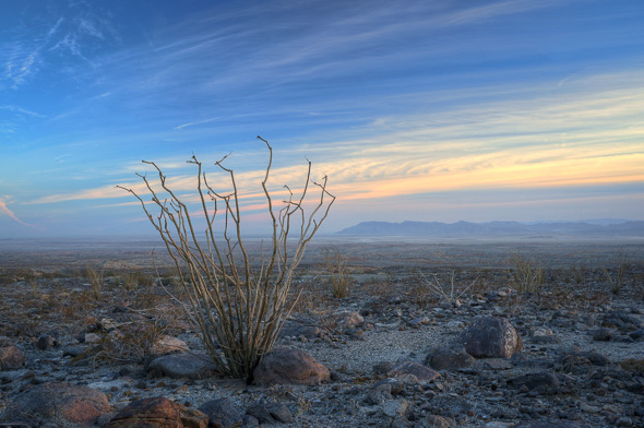 Ocotillo in the Colorado Desert, California, by Anne McKinnell