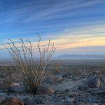 Ocotillo in California's Colorado Desert