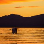 Great White Egret flying at sunset at the Salton Sea, California, by Anne McKinnell