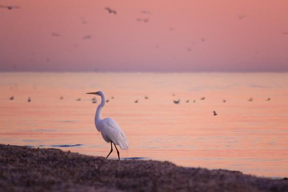 Salton Sea Egret at twilight by Anne McKinnell