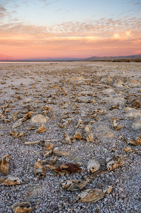 Salton Sea Tilapia by Anne McKinnell