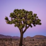 The Perfect Joshua Tree by Anne McKinnell