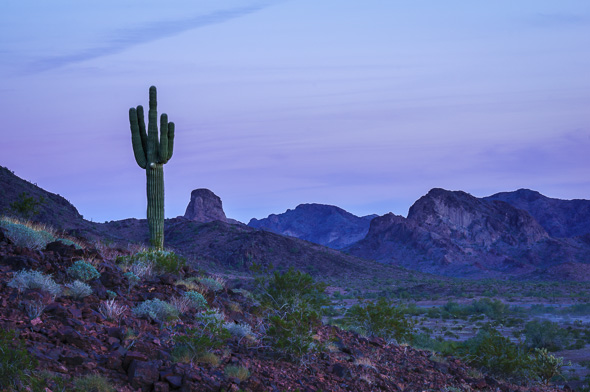 Saguaro cactus at twilight by Anne McKinnell