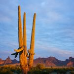 Saguaro cactus at sunset by Anne McKinnell
