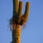Gila Woodpeckers and Saguaro Cactus