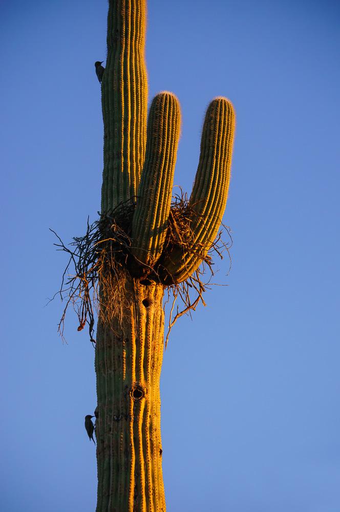 Saguaro Cactus Birds Nest by Anne McKinnell
