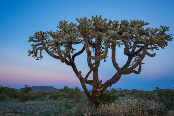 Chain Fruit Cholla by Anne McKinnell