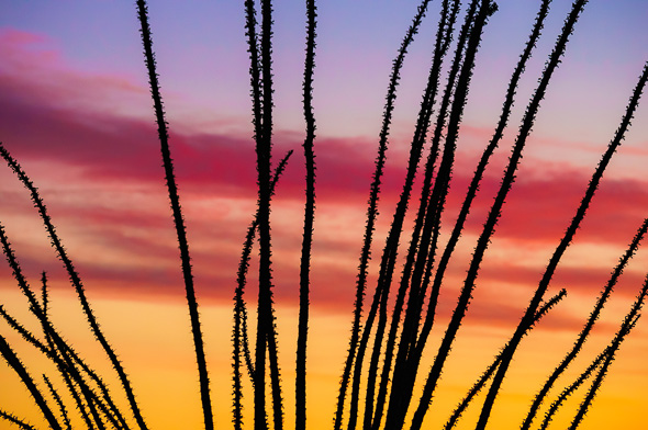 Ocotillo Abstract by Anne McKinnell