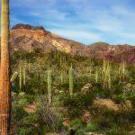 The Lush Desert in Organ Pipe Cactus National Monument
