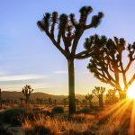 Joshua Tree Sunburst