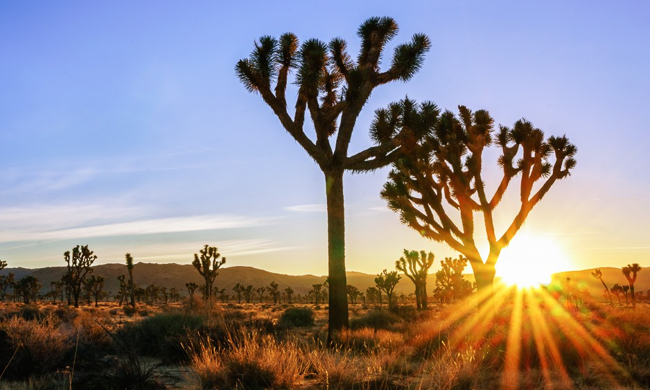 Joshua Tree sunburst by Anne McKinnell