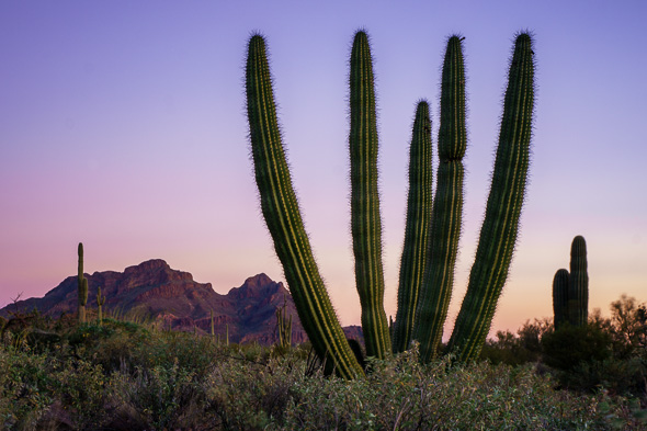 Organ Pipe Cactus at twilight by Anne McKinnell