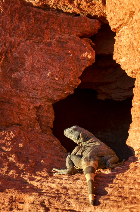 Chuckwalla in the Valley of Fire State Park, Nevada, by Anne McKinnell