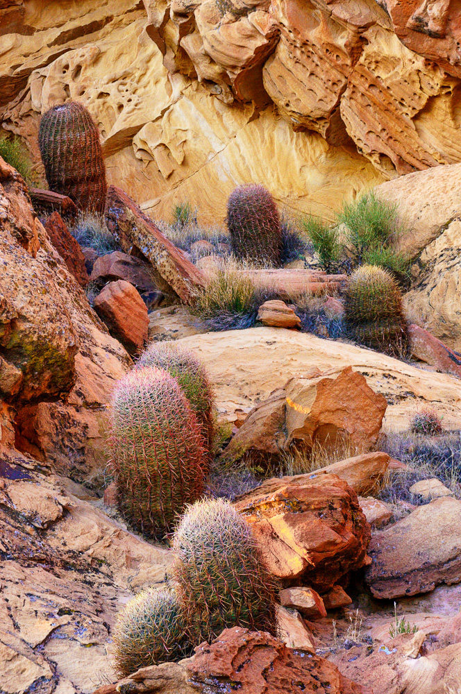 Barrel cacti in Nevada by Anne McKinnell