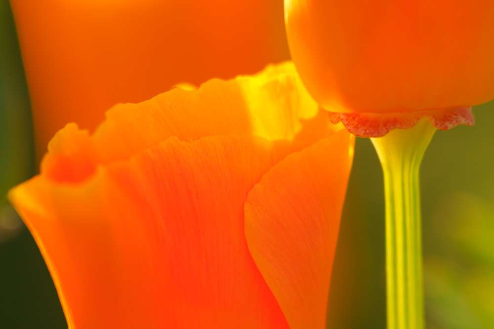 California Poppy by Anne McKinnell