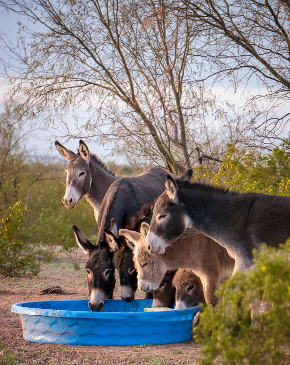 Burros drinking from pool