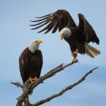 Bald Eagle Dance