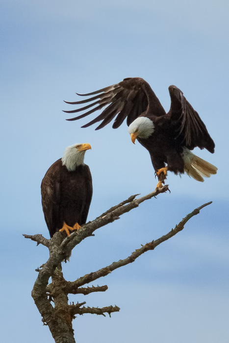 Two bald eagles by Anne McKinnell