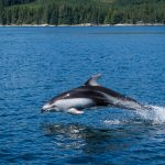 Pacific White-Sided Dolphin Encounter in Discovery Passage
