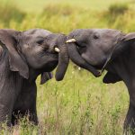 Baby Elephants Playing by Anne McKinnell